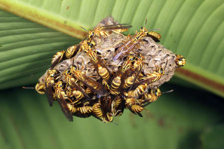 Tropical wasp nest under a leaf in the rainforest photo