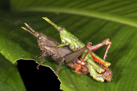 acrididae: Grasshoppers mating in rainforest, Ecuador