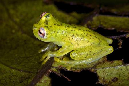 amazon rainforest: Glass Frog (Chimerella mariaelenae) in rainforest, Ecuador