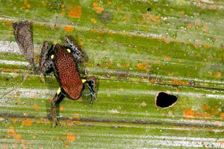 poison frog: Ecuadoriana Frog Poison (Ameerega bilinguis) Archivio Fotografico