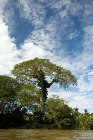 emergent: Large emergent kapok tree (Ceiba pentandra) on an Amazonian riverbank in Ecuador Stock Photo