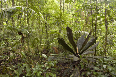 Interior of tropical rainforest in Ecuador with a distinctive large leafed plant in the foreground Stock Photo