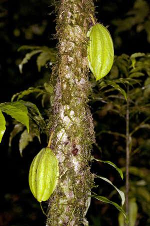 A wild species of cocoa (Theobroma sp.) in the Ecuadorian Amazon photo