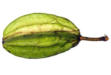 plants species: Pod di una specie selvatiche di cacao del Rio delle Amazzoni