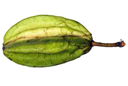 Pod of a wild cocoa species from the Amazon photo