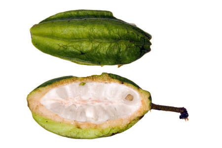 Pod of a wild cocoa species from the Amazon