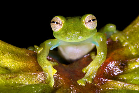 montane: Glass frog from cloudforest in Ecuador (Espadarana prosoblepon)