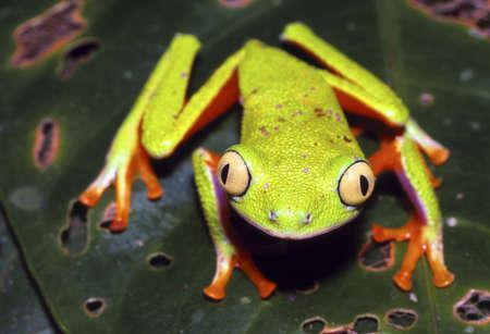 green tree frog: Amazonian Monkey Frog (Agalychnis hulli)