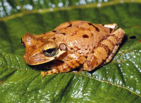 Bromeliad dwelling treefrog (Osteocephalus fuscifascies) from Ecuador photo