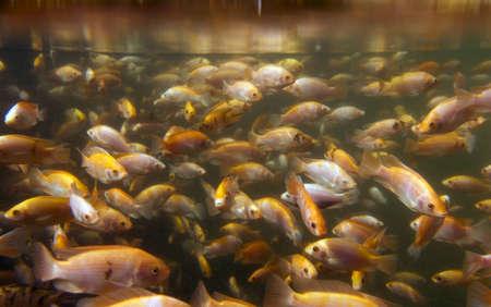 Tilapia underwater at a fish farm photo