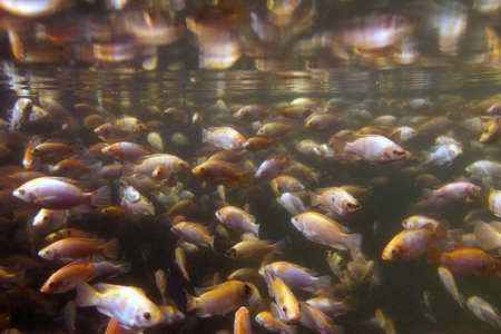Tilapia underwater at a fish farm photo