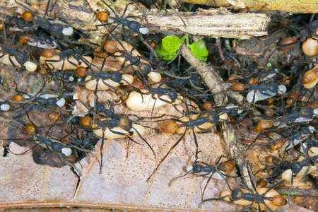 Swarm of army ants (Eciton sp.) moving their larvae and pupae to a new bivouac at night photo