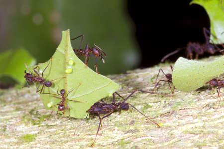 ant leaf: Las hormigas cortadoras de hojas (Atta sp.) Hay pequeños trabajadores denomina Mínimos montado en la hoja. Estos se defienden de las moscas parasitarias. Foto de archivo