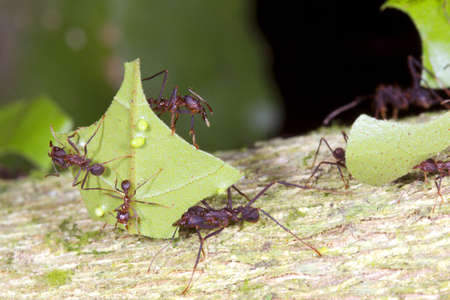 Leaf cutter ants (Atta sp.) There are small workers termed minims riding on the leaf. These defend it from parasitic flies. Stock Photo - 11143754