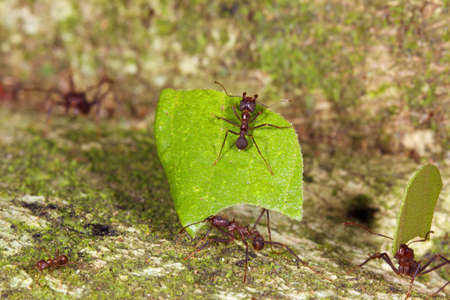 Leaf cutter ants (Atta sp.) There are small workers termed minims riding on the leaf. These defend it from parasitic flies. photo