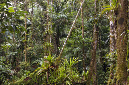 Amazonian rainforest in Ecuador with many bromeliads in foreground photo