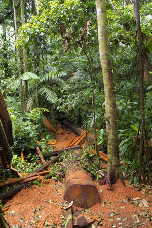 Cut log and sawdust left on the rainforest floor by timber traffickers photo