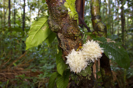 ethnobotany: Rainforest tree from the Ecuadorian Amazon displaying Cauliflory (fruit growing directly from the trunk)