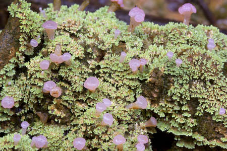 fruiting: Unusual rainforest lichen with fruiting bodied from Ecuador Stock Photo