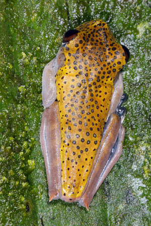 Map treefrog (Hypsiboas geographicus) on a leaf in rainforest, Ecuador photo