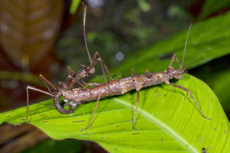 Stick insects (Acanthoclonia sp.) mating in the rainforest, Ecuador