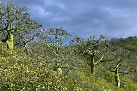 photosynthetic: Row of Ceibo trees with green photosynthetic bark (Ceiba trichisandra, Bombacaceae). A large emergent species of tropical dry forest on the Pacific coast of Ecuador.
