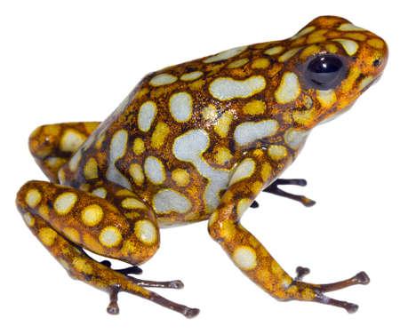 rana venenosa: Rana Arlequín (Oophaga sylvatica) de la región del Chocó Biológica en el noroeste de Ecuador.