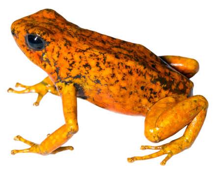rana venenosa: Rana Arlequín (Oophaga sylvatica) de la región del Chocó Biológica en el noroeste de Ecuador, naranja metamorfosis.