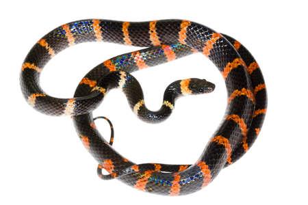 False Coral Snake (Oxyrhopus petola) from the Choco Biological Region in north-western Ecuador Stock Photo
