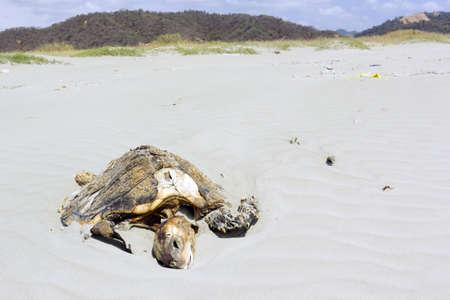 Dead loggerhead turtle on a beach on the Pacific coast of Ecuador.