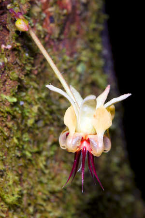 Flower of the Cocoa tree (Theobroma cacao). The flower grows directly out of the trunk (cauliflory).