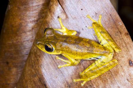 treefrog: Gunthers Banded Treefrog (Hypsiboas fasciatus) in the Ecuadorian Amazon