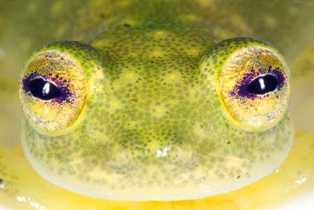 treefrog: Face of a glass frog (Hyalinobatrachium sp.) from the Ecuadorian Amazon Stock Photo