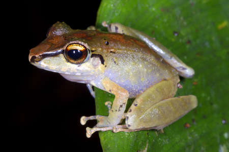Unidentified rain frog (Pristimantis sp.) from the Ecuadorian Amazon Stock Photo - 12052758