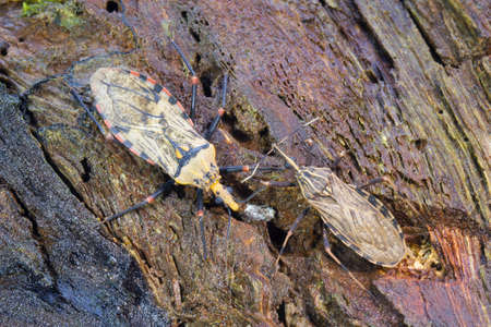 Kissing Bug (Triatoma sp.) The vector for Chagas Disease