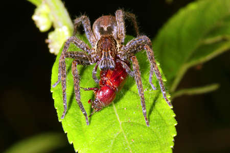 Wandering spider (family Ctenidae) eating a beetle in the rainforest understory at night