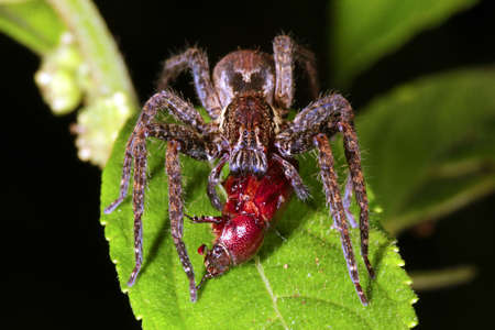 wolf spider: Wandering spider (family Ctenidae) eating a beetle in the rainforest understory at night