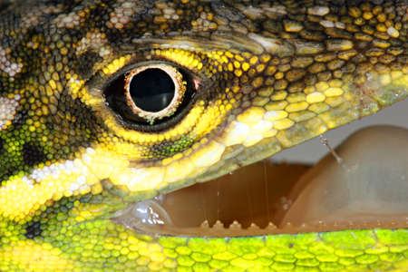eye close up: Boulengers Green Anole (Anolis chloris)