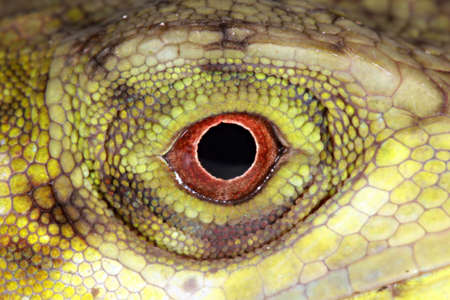 Close-up of the eye of an Anolis lizard from Ecuador photo