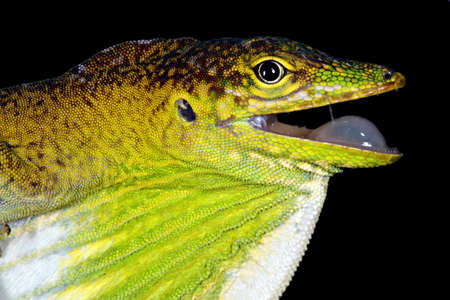 Male Boulengers Green Anole (Anolis chloris) Stock Photo - 12177758
