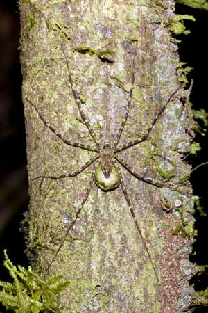 arachnophobia animal bite: Spider with egg sac camouflaged on a tree trunk in rainforest, Ecuador