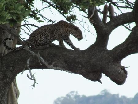 savana: LEOPARD ON TREE
