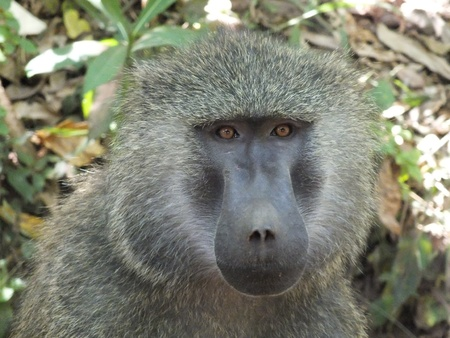 baboon photo