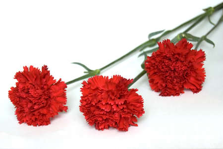 Three Red Carnations, Isolated on White Stock Photo - 3244151