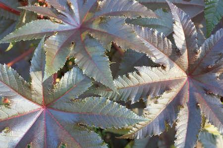 purgative: Castor-oil plant leaves, nature background