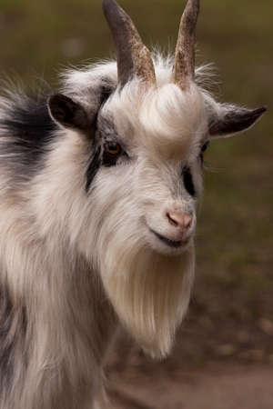 pygmy goat: Pygmy Goat Stock Photo