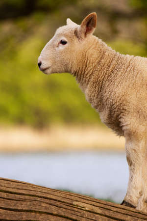 cumbria: English Lamb.  A young lamb beside Derwentwater, Cumbria in the English Lake District. Stock Photo