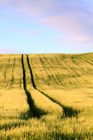 Tractor Track.  A tractor track in a corn field in Cumbria northern England. Stock Photo