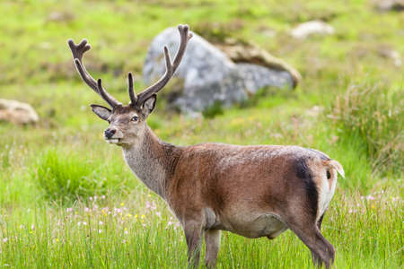 Red Deer Stag.  A red deer stag goes to the toilet in the Scottish highlands. Stock Photo