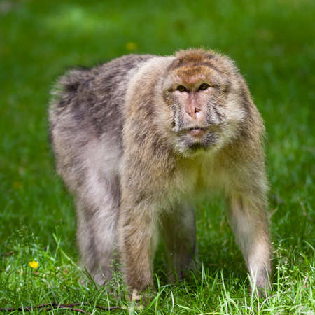 barbary: Barbary Macaques Monkey.  Barbary macaques monkeys live in the Atlas Mountains of Algeria and Morocco.